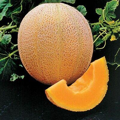 50+ Seeds Hale's Best Jumbo Cantaloupe NON-GMO Heirloom Vegetable USA-SELLER (Best Home Garden Vegetables)