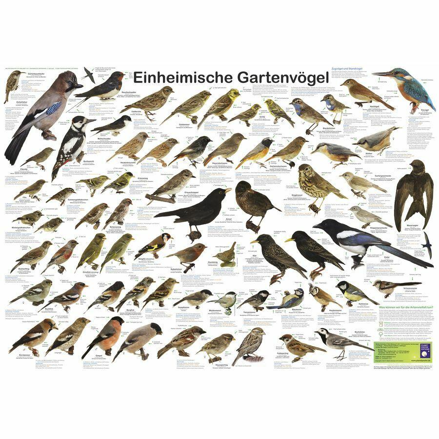 Einheimische Gartenvögel Poster deutsch DIN A1 84,1 x 59,4 cm Plakat Lernplakat