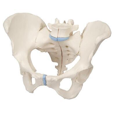 3b Scientific H201 Female Pelvis Skeleton Model 3 Part Anatomical Model Anatomy