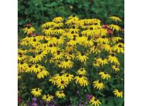 Herbaceous Hardy Perennial plants