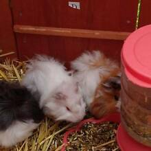 3x Gorgeous Guinea Pig Mount Gambier Grant Area Preview