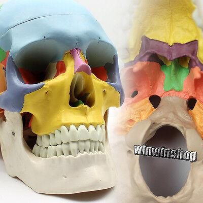 Human Skull Anatomical Anatomy Skeleton Medical Model Colored Bones 2 Parts
