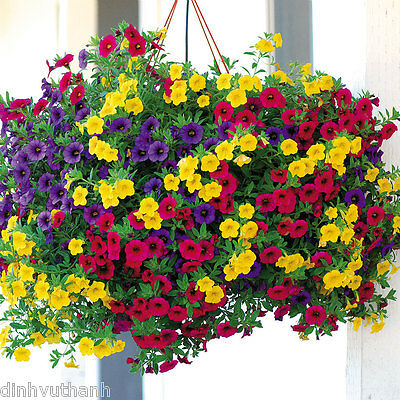 Mixed Colors Hanging Petunia Flower Seeds Balcony Bonsai Calibrachoa - 200