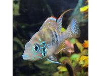 Tropical fish Rare ellioti