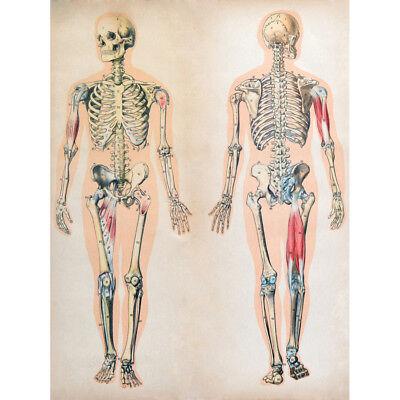 (Human Body Anatomy Skeleton Muscles Unframed Wall Art Print Poster Home Decor)