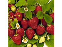 Strawberry Plants 1.5Lt Pots at £1.50 each SOLD OUT