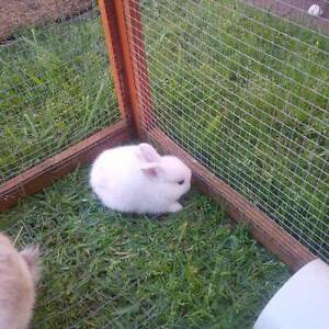 Netherland Dwarf lop Baby rabbits coming soon! Mount Gambier Grant Area Preview