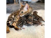Outstanding pedigree rosetted Bengal kittens