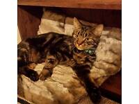 Missing male tabby cat