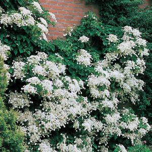 Hydrangea anomala Sub Spec. petiolaris Limelight - Climbing Hydrangea 2L/Bushy