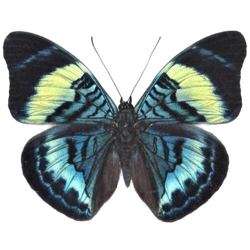 ONE REAL BUTTERFLY BLUE PANACEA PROLA PERU UNMOUNTED WINGS CLOSED