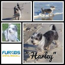 Furkids Animal Rescue Inc - Adoption - HARLEY - ShihTzu X Daisy Hill Logan Area Preview