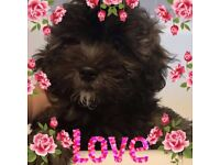 Shih poo puppies ready now - 1 GIRL LEFT