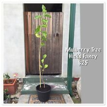 Mulberry tree Eden Hill Bassendean Area Preview