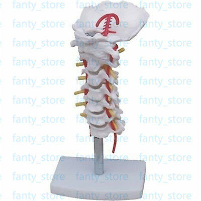 1pcs Cervical Vertebra Arteria Spine Spinal Nerves Anatomical Model Anatomy A404