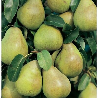 Mini Comice Pear Tree  Has Fruit Sooner Than A Large Tree In A Smaller Space
