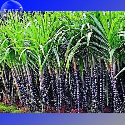 Black Sugar Cane Seeds Professional Pack 100 Seeds Rare Tropical Very Juicy   Sw