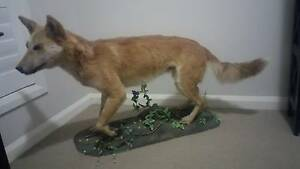 Taxidermy Full Mounted Adult Dingo Middle Ridge Toowoomba City Preview