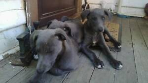Whippet puppies Chipped