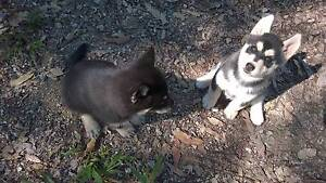 husky X puppies Mudgeeraba Gold Coast South Preview