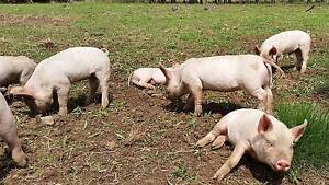 FREERANGE Weaner / Spit - Pure Bred Berkshire x Landrace Pigglets Ellenborough Port Macquarie City Preview