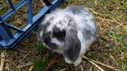 Rabbits Blue Butterfly Mini Lop Bunnies Caringbah Sutherland Area Preview
