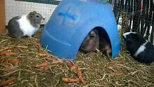Guinea pigs Canley Vale Fairfield Area Preview