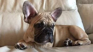 Purebred French Bulldogs: Red, Black, Fawn, Pied, Brindle