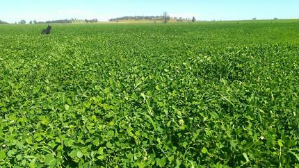 quality lucerne and clover. and clover rye small squares Temora Temora Area Preview