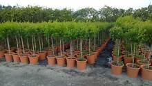 Standard Topiary Trees grower direct cheap best valueperth Darch Wanneroo Area Preview