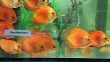 New Shipment*** Discus 5cm Malaga Swan Area Preview
