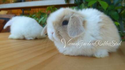 Quality Pure Bred Mini Lops/ Unique Blue Eyed Viennas & more. Marleston West Torrens Area Preview