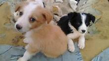 Purebred border collie caramel n white Dalby Dalby Area Preview