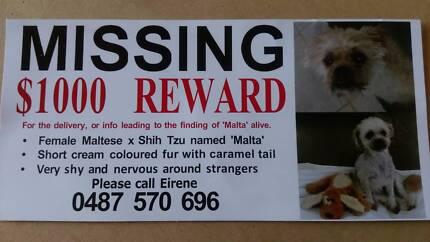 Lost Dog - Female Maltese x Shih Tzu