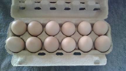 Purebred light Sussex fertile eggs