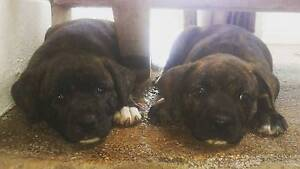 Staffy X Cattle dog pups Kalbar Ipswich South Preview
