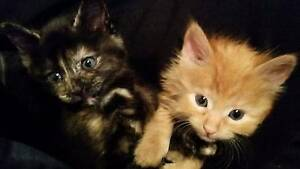 Kittens for adoption Sunbury Hume Area Preview