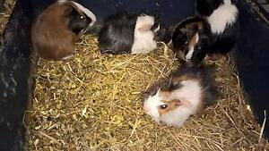 guinea pigs Moolap Geelong City Preview