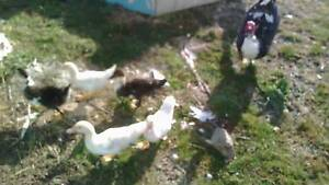 Muscovy ducks Huon Valley Preview