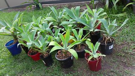 18 x Agave plants need some TLC