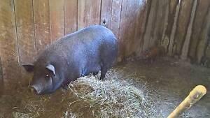 pig sow200kg+ piglets Hoddles Creek Yarra Ranges Preview
