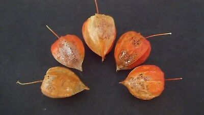Five Dried Partially Skeletized Chinese Lantern Seed Pod Skeletons for Crafts  - Chinese Lantern Craft