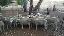 sheep LAMBS wanted buying and selling One Tree Hill Playford Area Preview