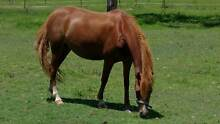 Aus Riding Pony Mare 12.2hh 9yrs Waterford West Logan Area Preview