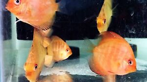 **NEW  ARRIVALS** 5cm Discus Malaga Swan Area Preview