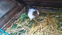 Female Guinea Pig Mount Gambier Grant Area Preview
