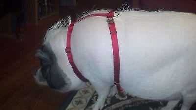 Adjustable Hog  (PIG) Harness Hand Made Metal Buckle Easy Fit Carter Pet Supply