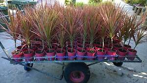 dracaena marginat cheap plants forperth shrub  tree grower direct Darch Wanneroo Area Preview