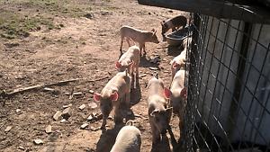 Piglets & Growers Goulburn Goulburn City Preview