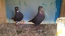 pigeons for sale Melbourne Region Preview